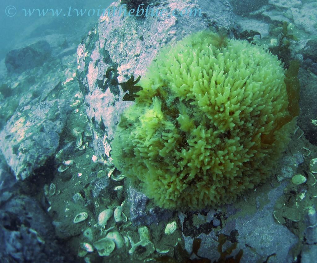 Sponge - Porifera sp