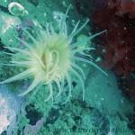 Sea anemone - cf Sagartia elegans
