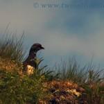 Rock ptarmigan - Lagopus muta