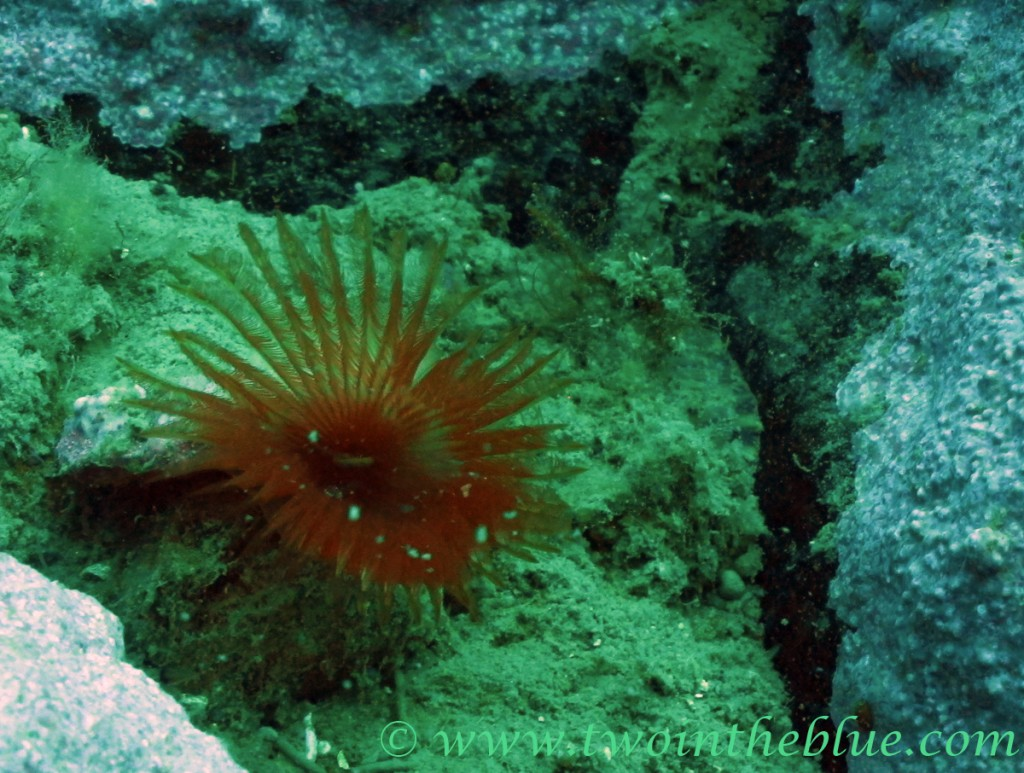 Peacock worm - Sabella cf pavonina