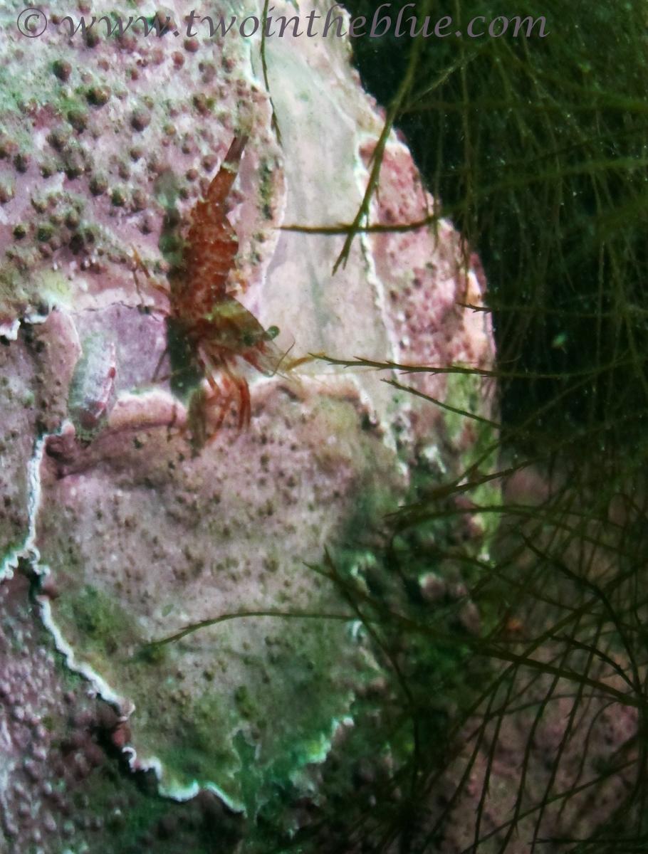 Shrimp - Lebbeus polaris