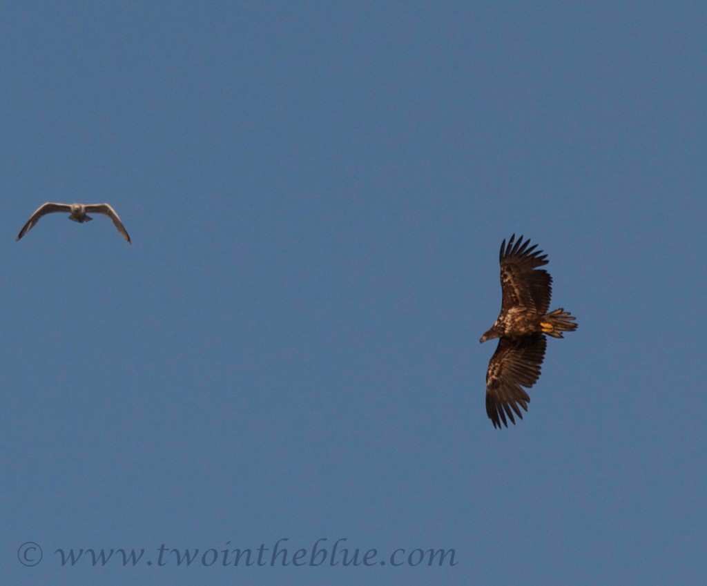 White-tailed eagle - Haliaeetus albicilla