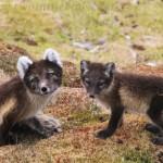 Arctic fox - Vulpes lagopus
