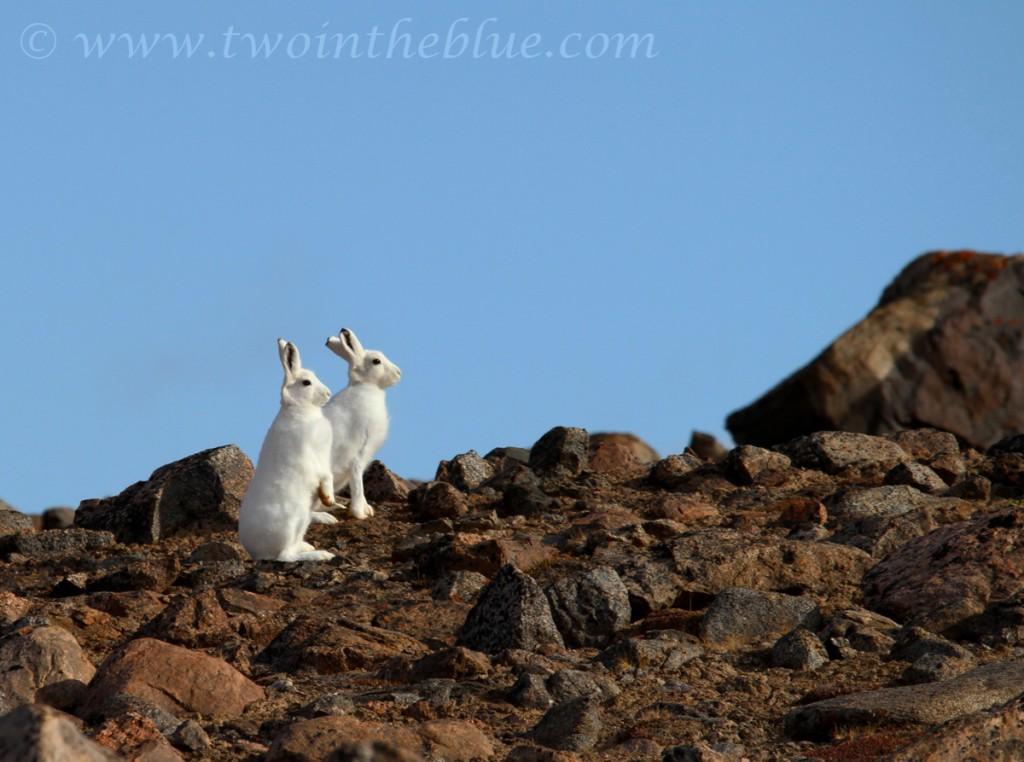 Arctic hare - Lepus arcticus