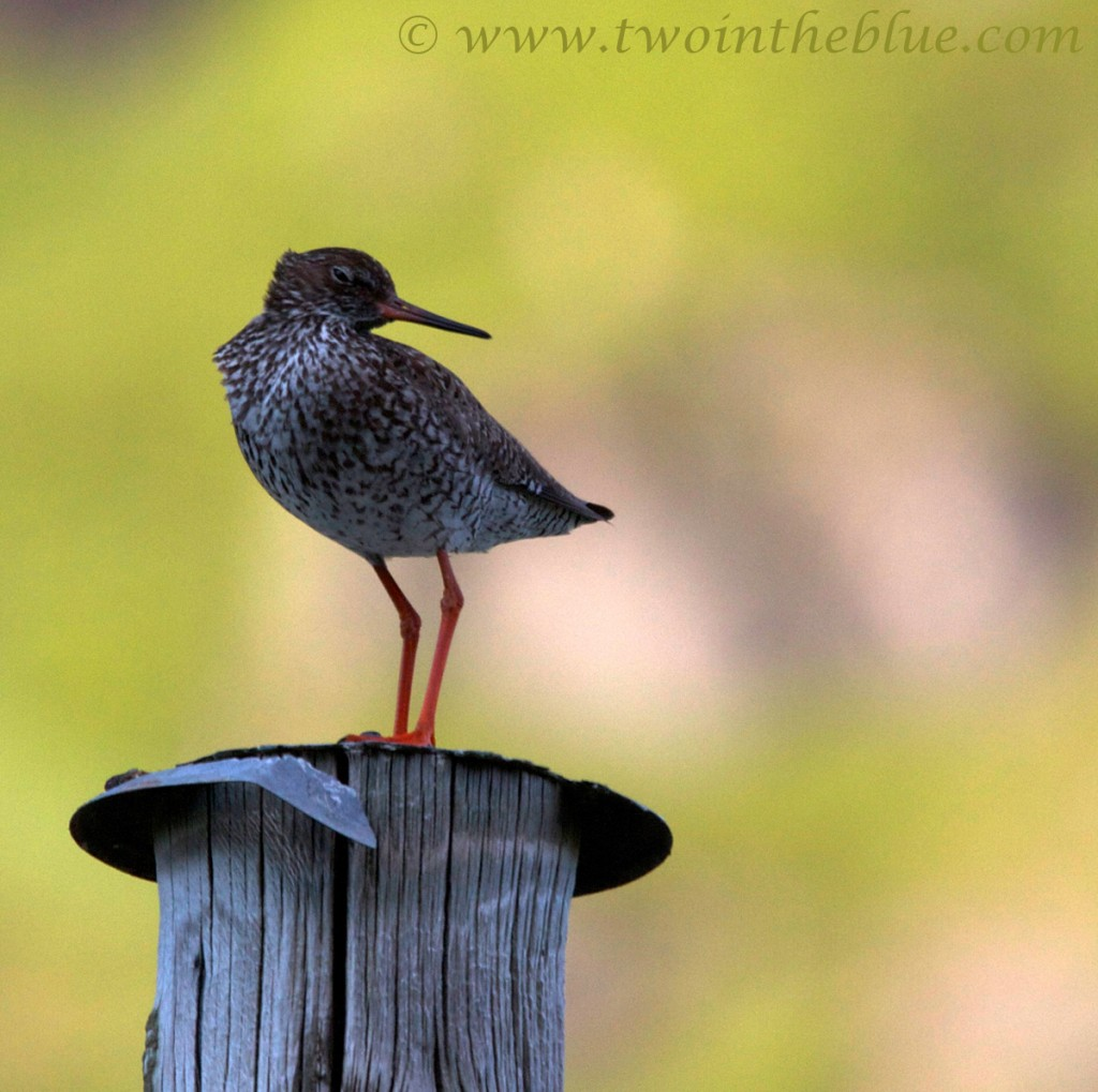 Common redshank - Tringa totanus