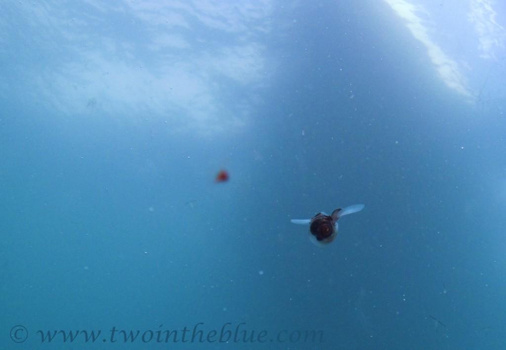 Sea butterfly - Limacina helicina