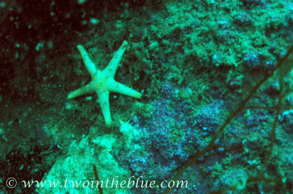 Seastar - Asteroidea sp