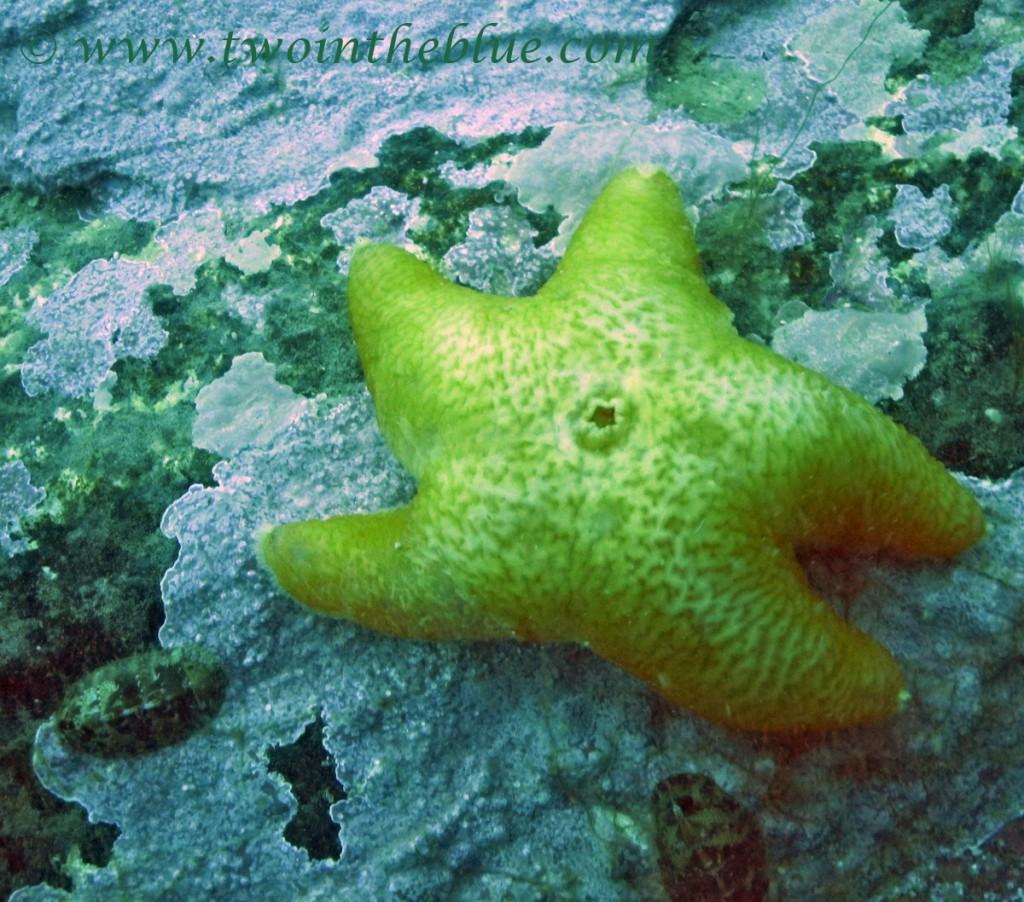 Seastar - Pteraster sp