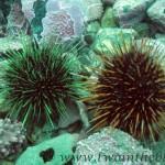 Sea urchin - Strongylocentrotus droebachiensis