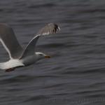 European herring gull - Larus argentatus