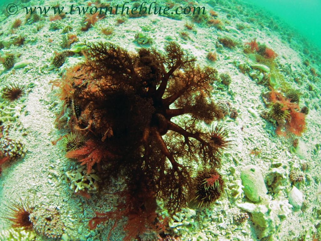 Sea cucumber - Cucumaria frondosa