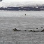 Harp seal - Pagophilus groenlandicus