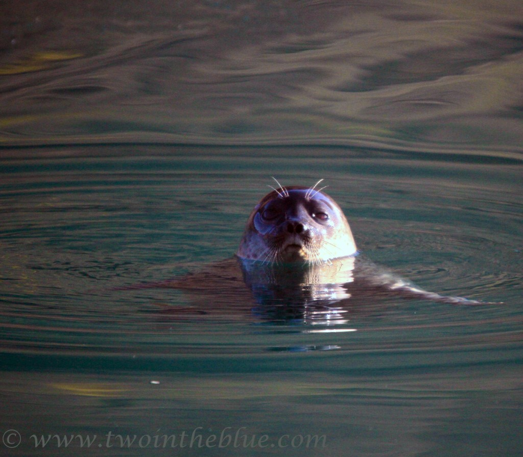 Ringed seal - Pusa hispida