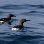 Common guillemot - Uria aalge
