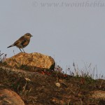 Pipit - Anthus sp