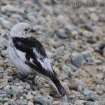 Snow bunting - Plectophenax nivalis