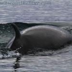Minke whale - Balaenoptera acutorostrata