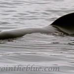 Long-finned pilot whale - Globicephala melas