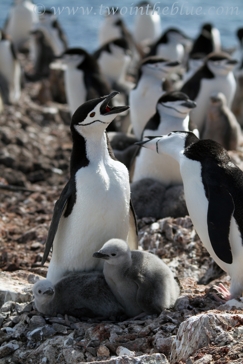 Chinstrap Penguin - Pygoscelis antarctica
