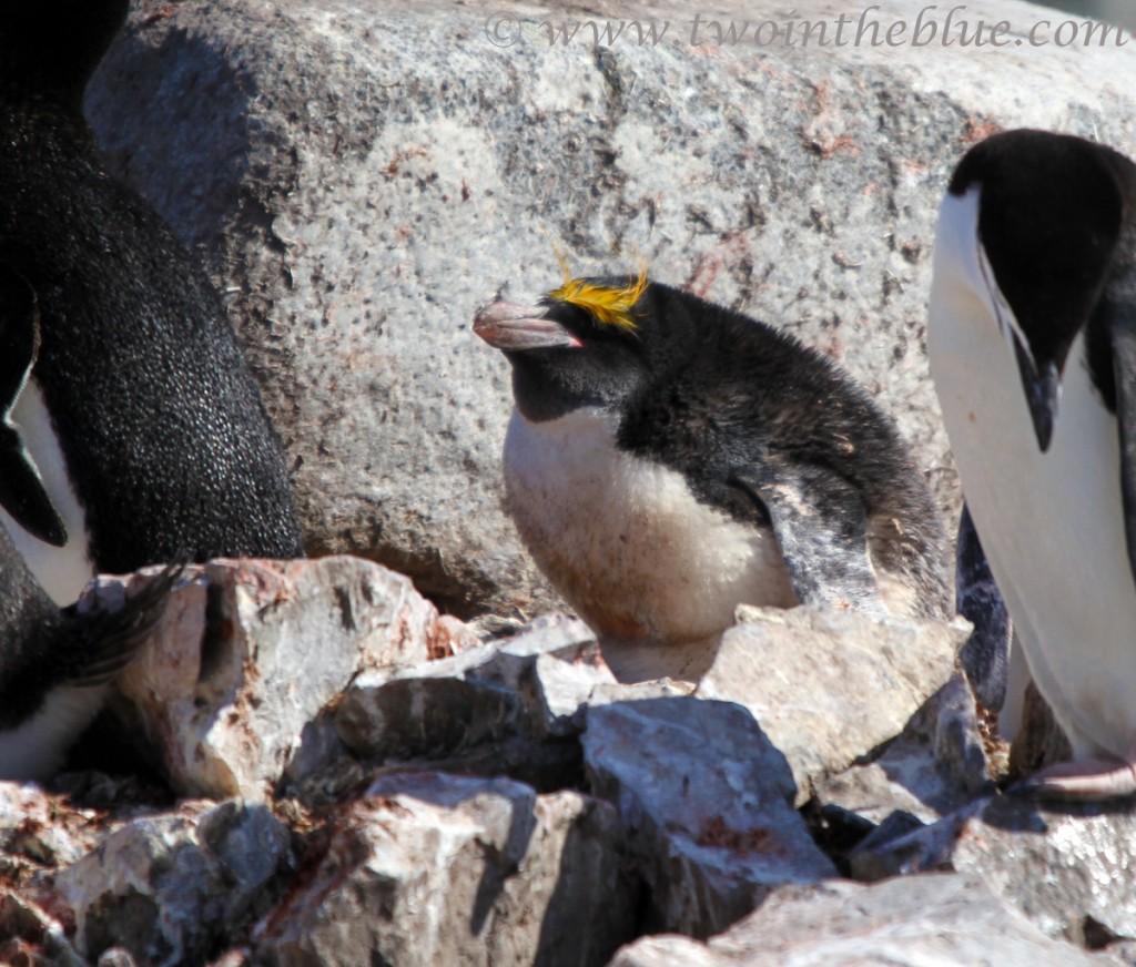 Macaroni Penguin - Eudyptes chrysolophus