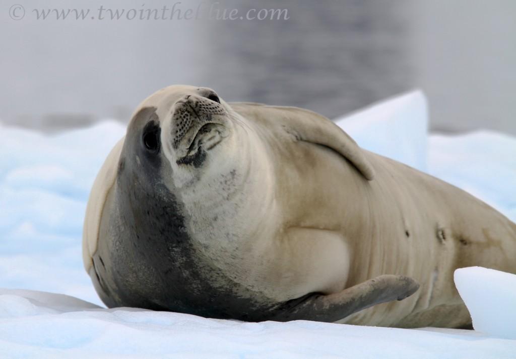 Crabeater Seal - Lobodon carcinophaga