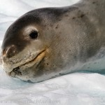 Leopard Seal - Hydrurga leptonyx