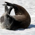 Weddell Seal - Leptonychotes weddellii