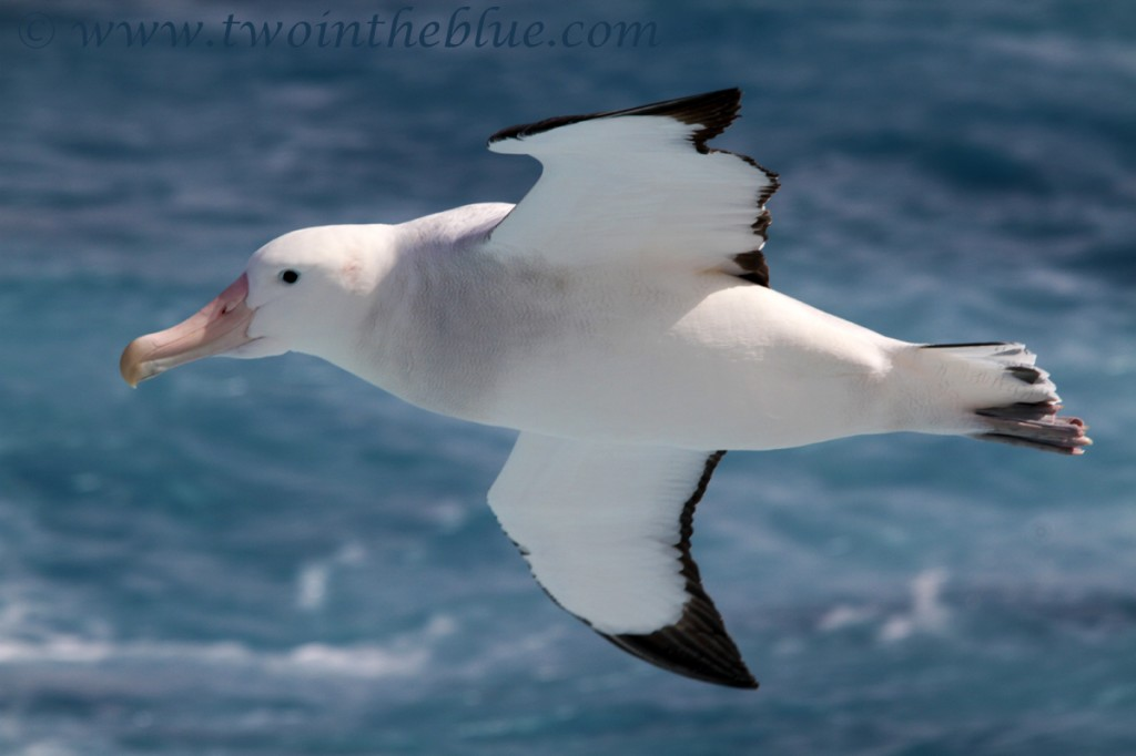 Wandering albatross - Diomedea exulans