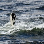 Commerson's Dolphin - Cephalorhynchus commersonii