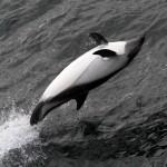 Peale's Dolphin - Lagenorhynchus autralis