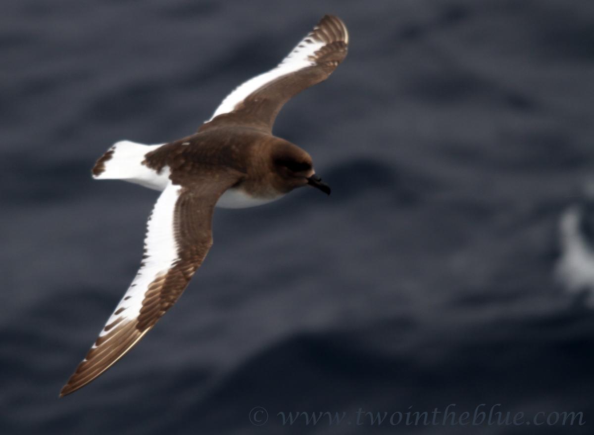 http://www.twointheblue.com/wp-content/uploads/2013/03/03.3-Antarctic-Petrel-Thalassoica-antarctica.jpg