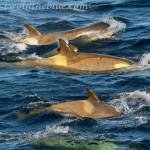 Orca (type B) - Orcinus orca