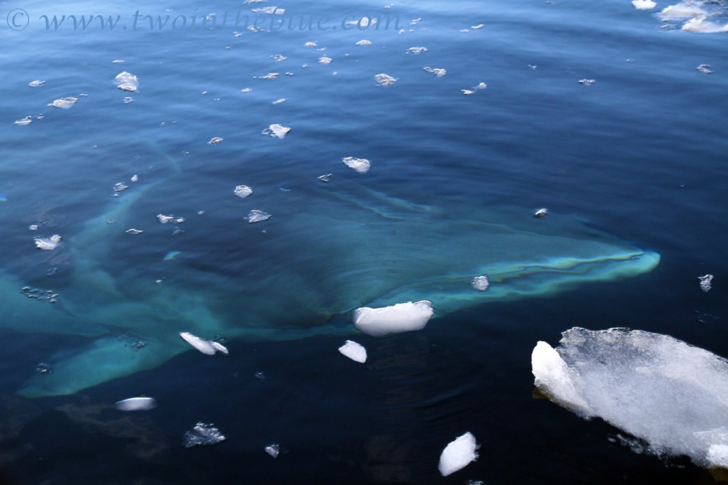 Antarctic Minke Whale - Balaenoptera bonaerensis