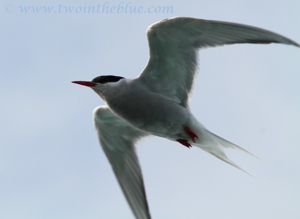 Antarctic Tern - Sterna vittata