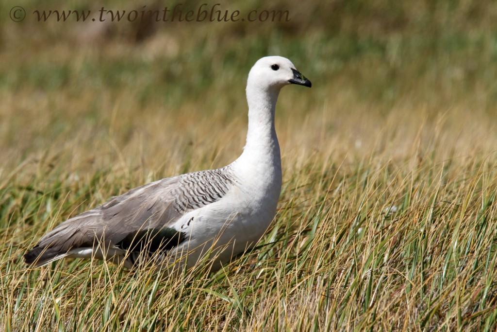 Upland Goose -Chloephaga picta leucoptera