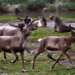 Reindeer - Rangifer tarandus