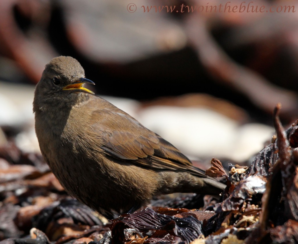 Tussock Bird - Cinclodes antarcticus