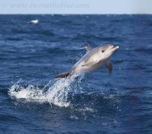 jumping doplphin
