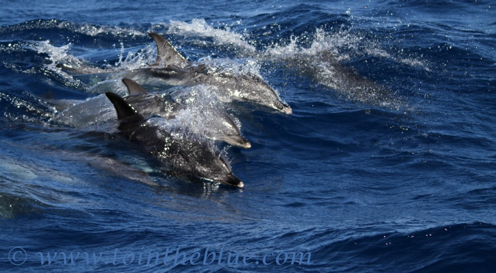 surfing-dolphins