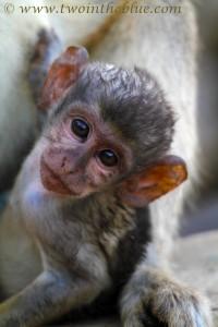 baby-green-monkey